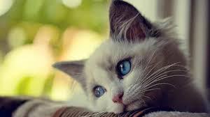 Гипоаллергенные кошки: ученые создали вакцину для четверолапых